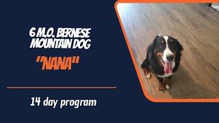 BERNESE MOUNTAIN DOG DOG TRAINING - BERNESE MOUNTAIN DOG / DOG TRAINING
