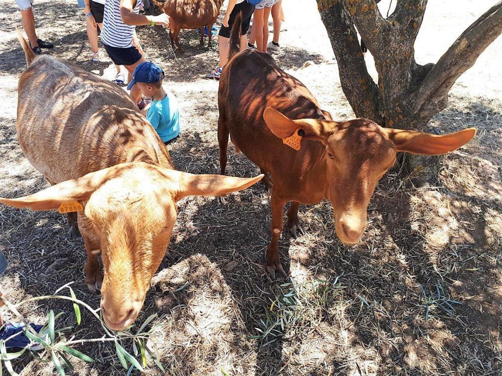 Cabras de raza autóctona malagueña