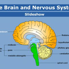 Brain Diagram Pons Delco Generator Wiring And Nervous System For Parents Kidshealth