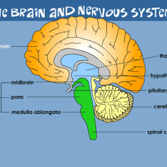 Easy Brain Diagram Coil Wiring Your Nervous System For Kids Kidshealth Hypothalamus Controls Temperature