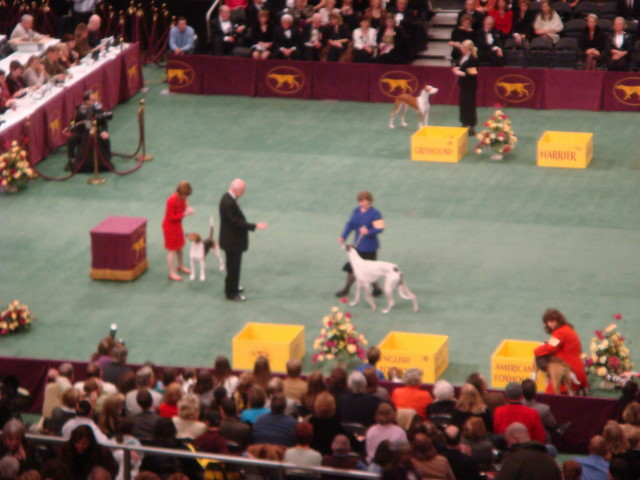 20080211-westminster-09-always-a-dog-on-tap.jpg