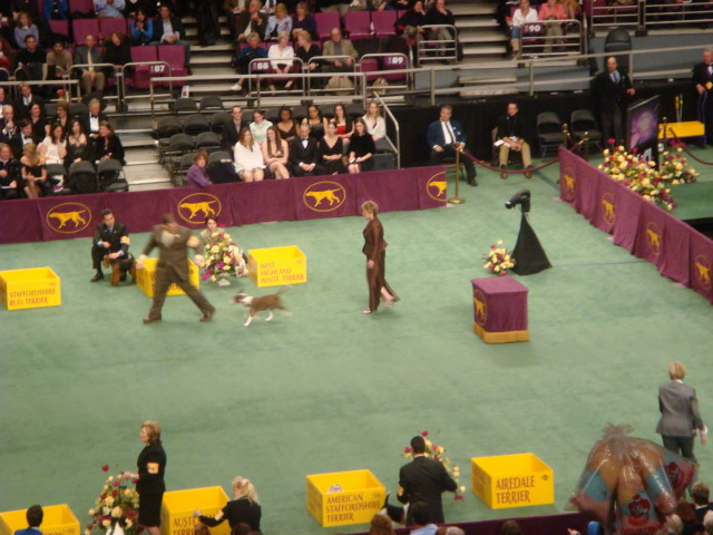 20080211-westminster-26-bull-terrier-colored-_8.jpg