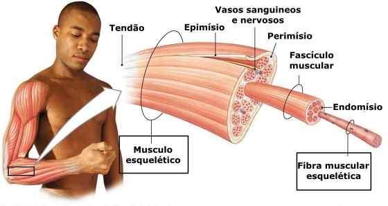 Como os Músculos Crescem?