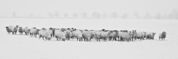 Winter Sheep