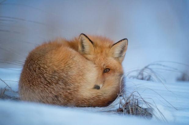 Cautious Fox