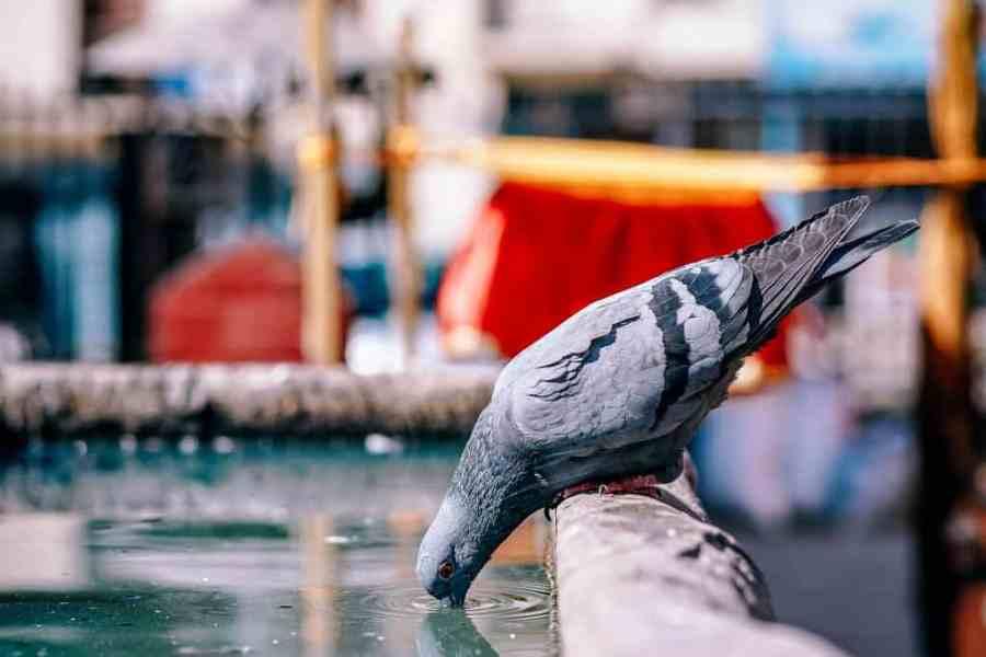 Thirsty-Pigeon