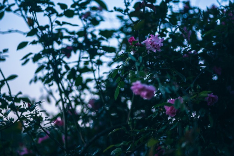Pink-Flower-Plant-with-Green-Leaves-during-Sunrise