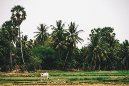 Beautiful-Cambodian-Country-Side-with-a-White-Cow-walking-on-the-Field