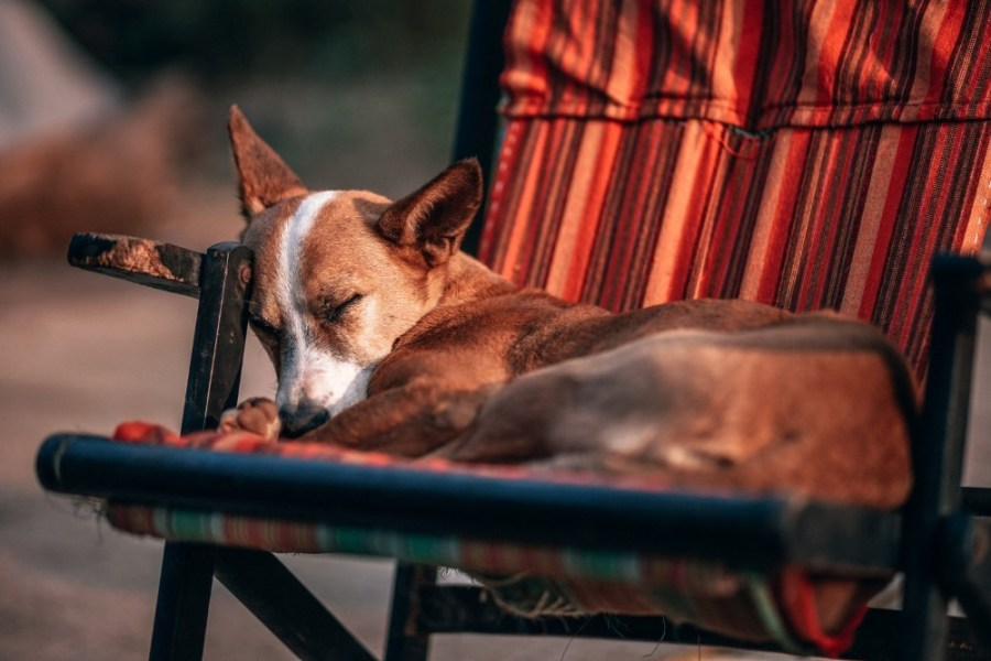 Brown-Dog-Peacefully-Sleeping-on-a-Chair-Outdoors