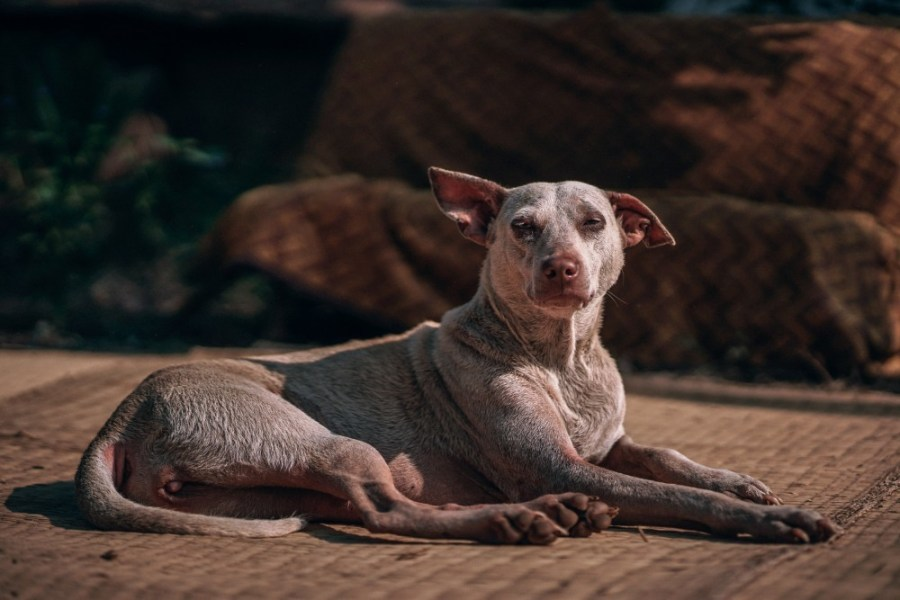 Dog-Relaxing-on-the-Ground-and-Looking-Towards-the-Camera-1