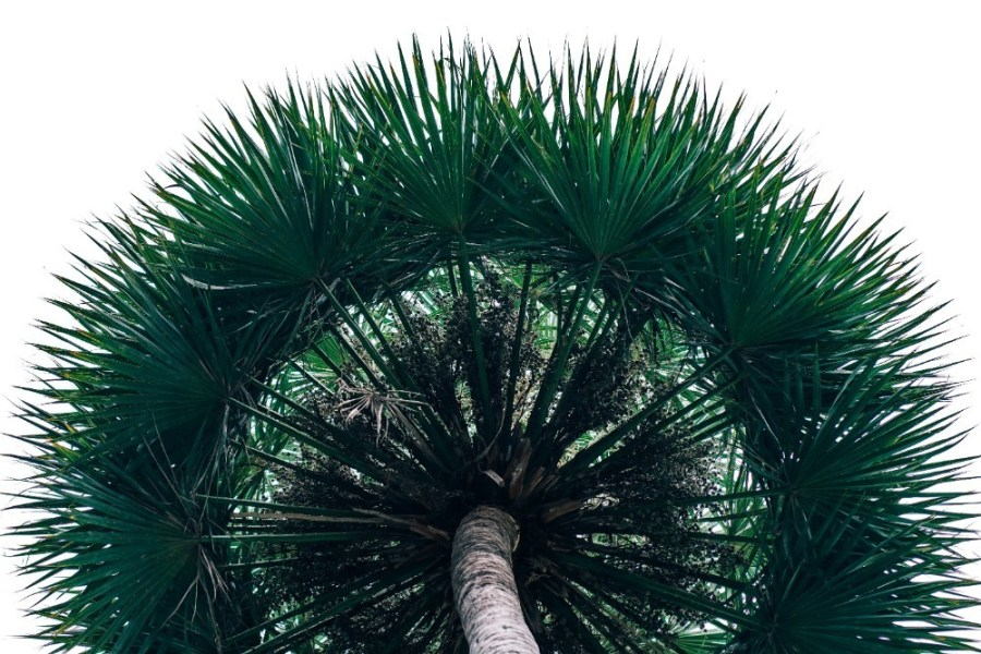 Lush-Palm-Tree-Photographed-from-Below