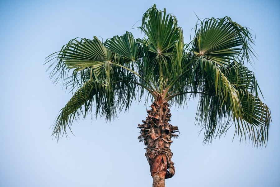 Tall-Palm-Tree-Photographed-from-Below-with-Clear-Blue-Sky-in-the-Background