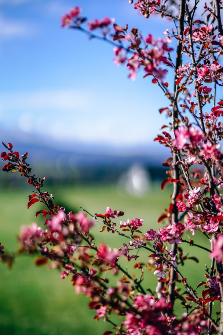 Beautiful-Cherry-Blossoms-with-a-Grass-Land-and-the-Sky-in-the-Background