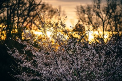 Cherry-Blossoms-during-a-Golden-Sunrise