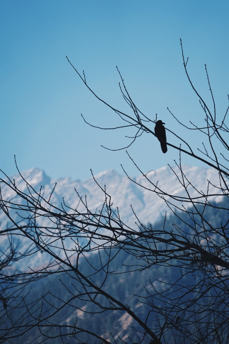 Crow-Sitting-on-a-Tree-Branch-with-Mountains-in-the-Background