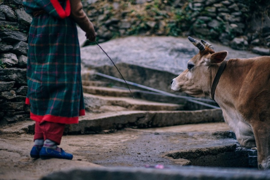 Woman-Standing-in-front-of-a-Cow-in-an-Indian-Village