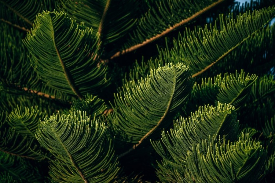 Close-up-Shot-of-Pine-Tree-Needles