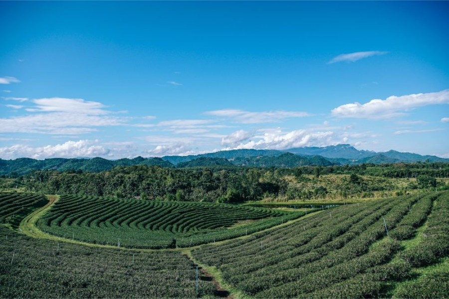 Amazing-Landscape-of-a-Tea-Plantation-under-a-Blue-Sky
