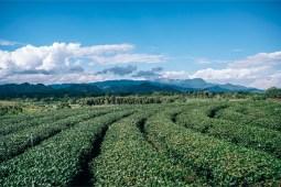 Amazing-Tea-Plantation-in-Chiang-Rai