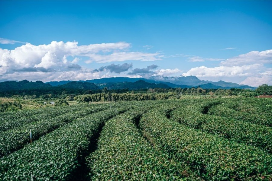 Amazing-Tea-Plantation-in-Chiang-Rai