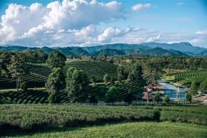 Beautiful-Tea-Plantation-on-a-Sunny-Day