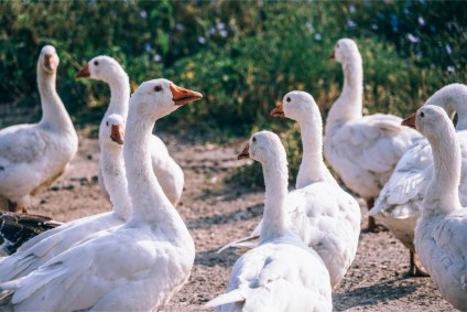 Close-up-Shot-of-Many-White-Geese