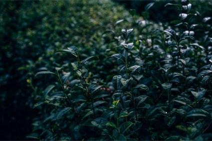 Close-up-Shot-of-Tea-Leaves