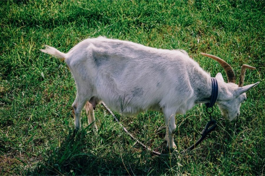 Goat-Eating-Grass