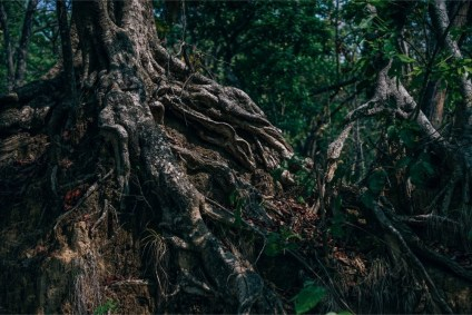 Massive-Roots-of-a-Tree