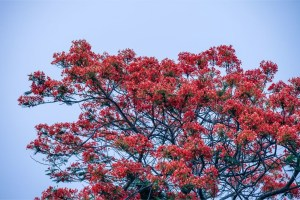 Stunning-Tree-with-Red-Leaves-and-the-Blue-Sky-in-the-Background