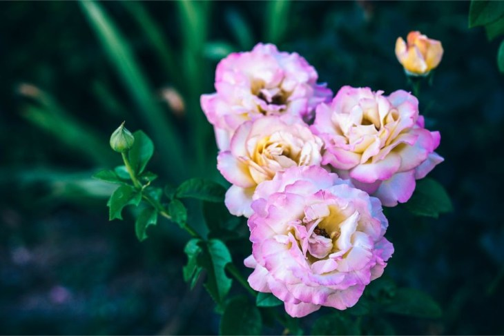 White-and-Pink-Roses-in-Natural-Light