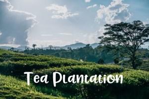 Tea-Plantation-300x200