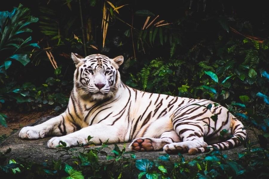 albino-tiger-lying-on-ground-at-nighttime