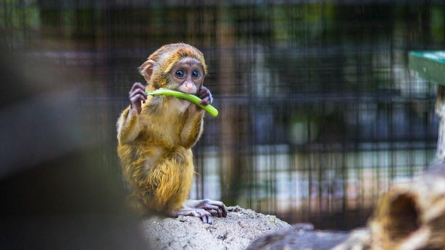 baby-monkey-eating-vegetable