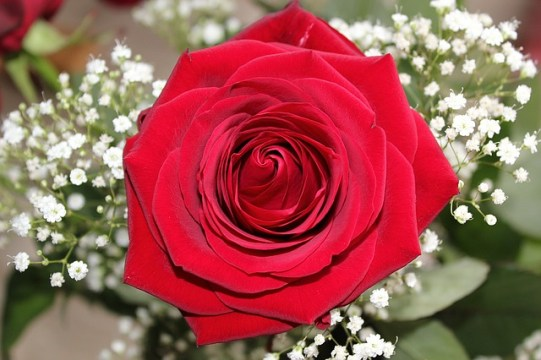 rose-of-love-1167086_640