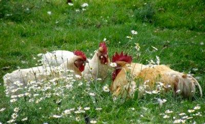 Agroecología. Pollos criados sanos y en libertad.