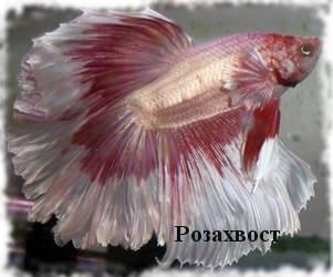 Аквариумная рыбка Петушок: фото, содержание, кормление. 02 rozakhvost AquaDeco Shop