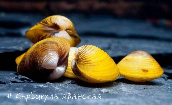 Корбикула яванская фото