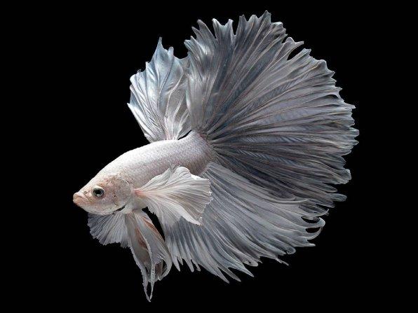 Рыбка петушок белого окраса