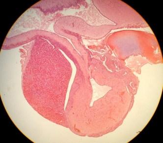 Pituitary, 40x