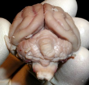 Rear view of cat brain