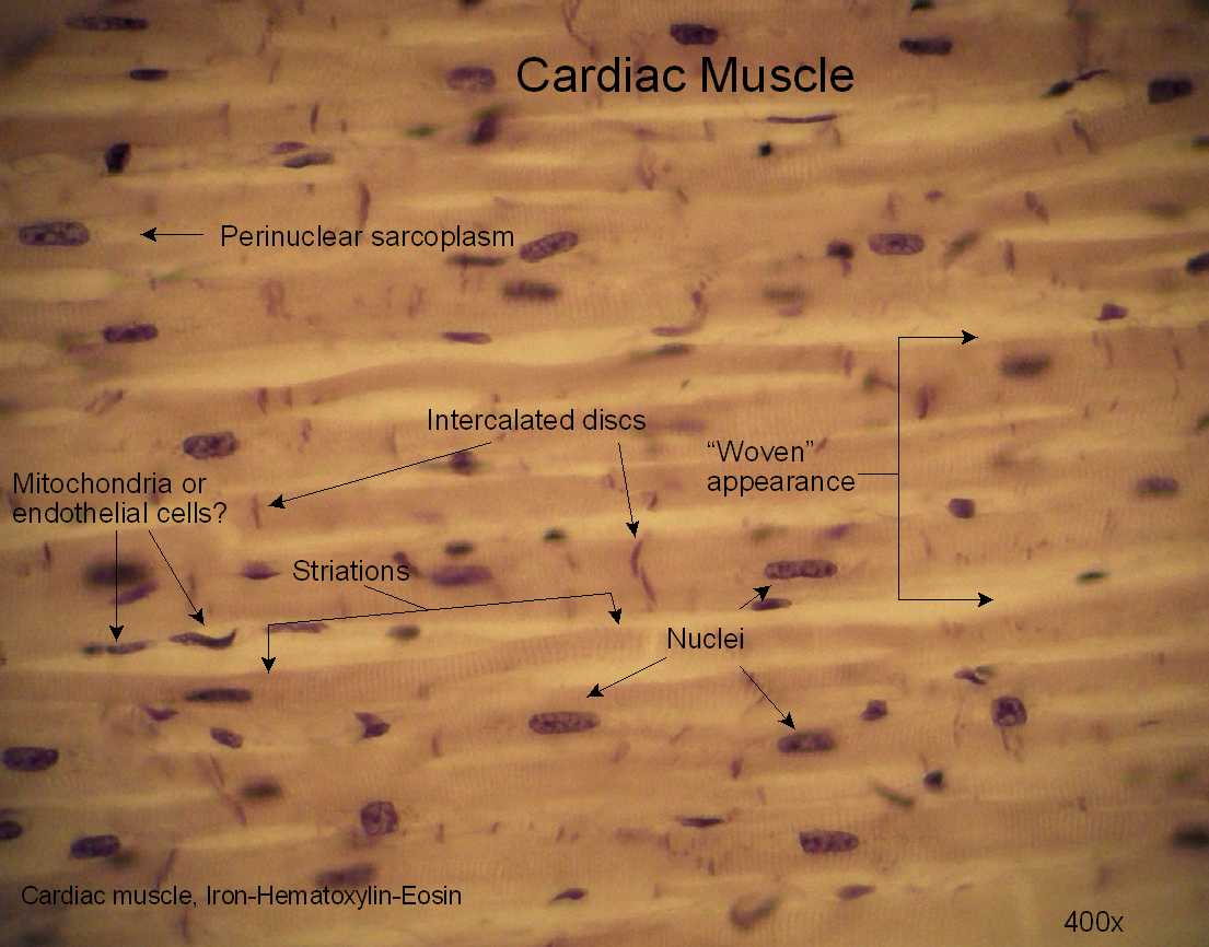 cardiac muscle labeled diagram 96 grand cherokee radio wiring histology lab  david fankhauser