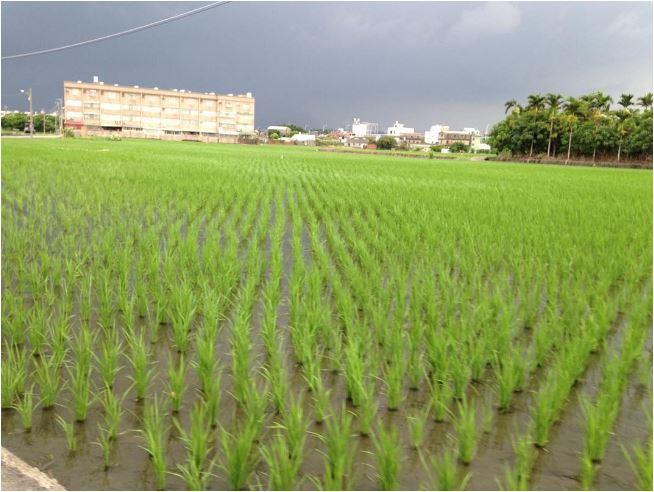 Taiwan rice fields