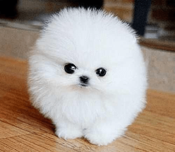 Teacup Pomeranian - dogs look like teddy bears