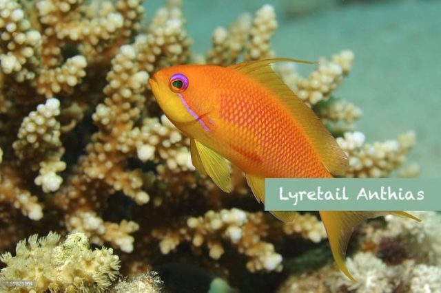 Lyretail Anthias - beautiful and colorful fish