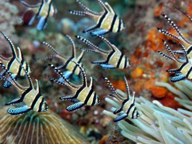 Banggai Cardinalfish - beautiful and colorful fish
