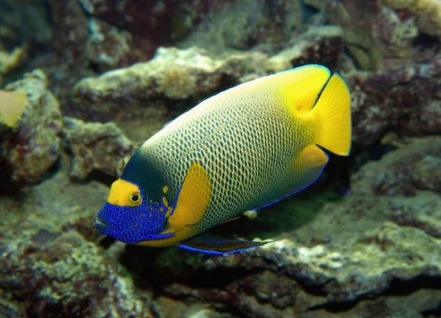 Blueface Angel Fish - beautiful and colorful fish