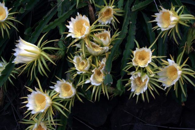 Dragon Fruit Flowers - Flowers Which Bloom Only At Night