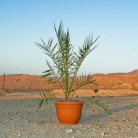 Scientists used 2,000 year old seeds to regrow an extinct species of date tree. The tree long disappeared from the Judean desert but archeologists found seeds on digs. Surprisingly, the seeds worked and grew a male and female of the species. They hope to use them to produce biblical era dates.
