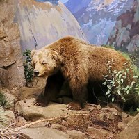 Despite being depicted on California's flag, the California grizzly bear has been extinct since 1924.